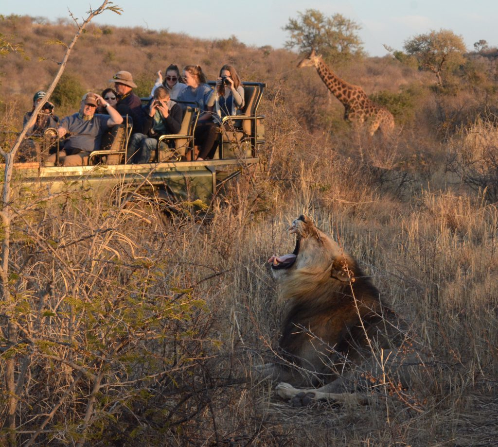 Lion and giraffe on family safari, South Africa